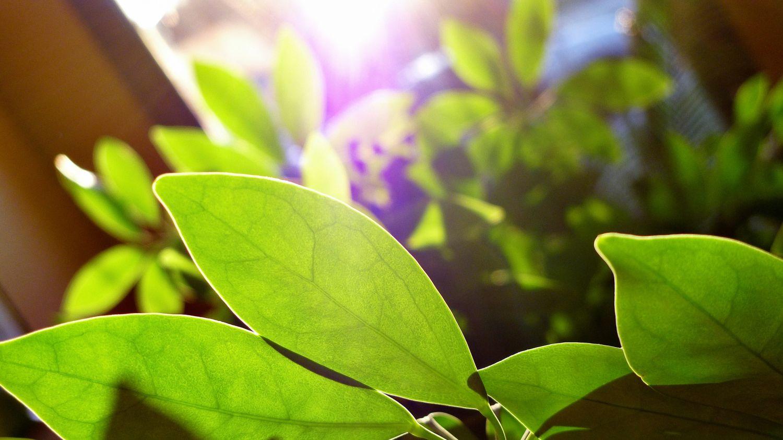 Blätter einer Pflanze im Sonnenlicht